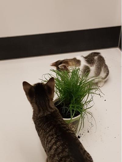Berti und Babsi spielen mit ihrem Katzengras
